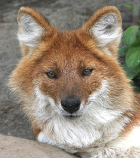 Dhole, Wild Dog