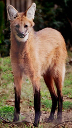 The Maned Wolf Wild Dog Of South America Beaconstreetusa