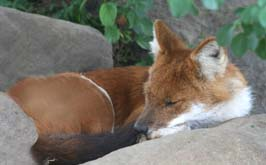 Dhole of Asia