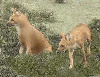 Dhole Couple